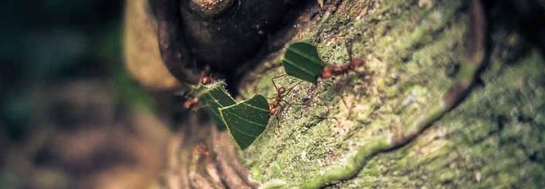 Fleißige Ameisen in Costa Rica