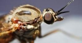 an sieht die Mücke Aedes Aegypti, die das Dengue-Fieber-Virus überträgt.
