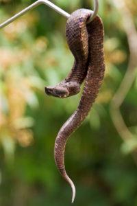 Greifschwanzlanzenotter Costa Rica