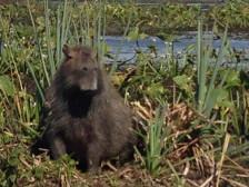 Argentinien-Wasserschwein-Capibara-Carpincho