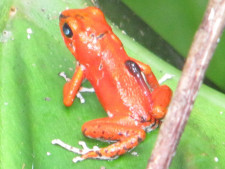 Ein roter Frosch sitzt auf einem Blatt