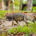 Iguana in Costa Rica auf heißem Sand