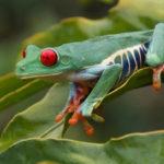 Costa Rica Naturreise Rote Augen