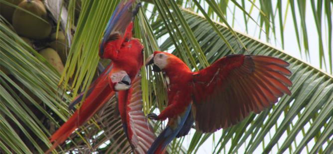 Zwei Aras in einem Baum balzen miteinander