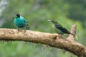 Naschvogel Costa Rica