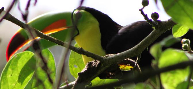 Ein Tukan sitzt auf einem Ast