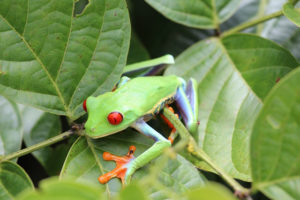 Vulkan Arenal und Rotaugenlaubfrosch im Tortuguero Nationalpark sind die Costa Rica Highlights