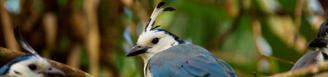 Langschwanzhäher Ornithologische Costa Rica Reise