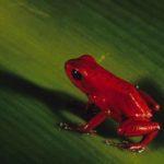 Red Frog Pfeilgiftfrosch