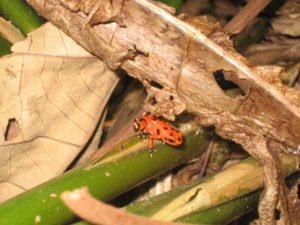Roter Frosch Panama