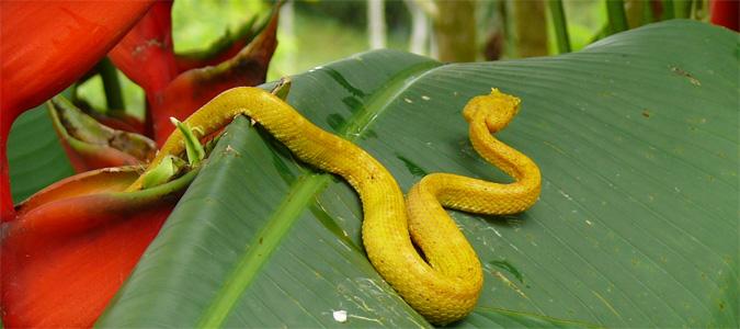 Ein gelbe Schlange schleicht über ein großes grünes Blatt im Cahuita Nationalpark
