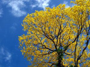 Blühende Bäume in Costa Rica