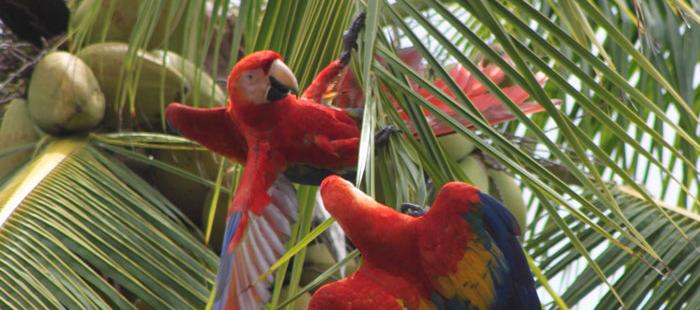 Aras in Boca Tapada