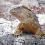 Leguan auf Galapagos