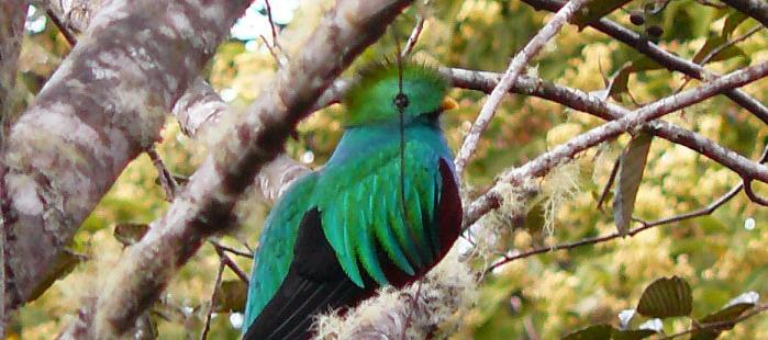 Ein Quetzal, der auf einem Ast sitzt, im Hochland des San Gerardo de Dota