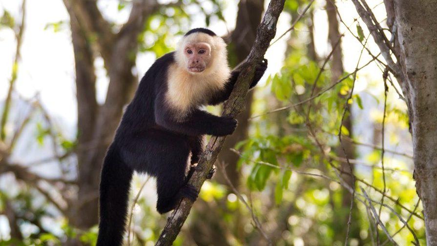 Affen in Costa Rica