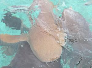 Ein Hai beim Schnorcheln in Belize auf der Insel Ambergris Caye