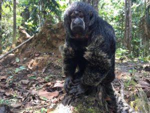 Großer Mönchsaffe im Amazonas Regenwald in Kolumbien