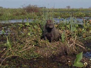 Begegnung mit Capybaras in der Llanos Savanne in Kolumbien