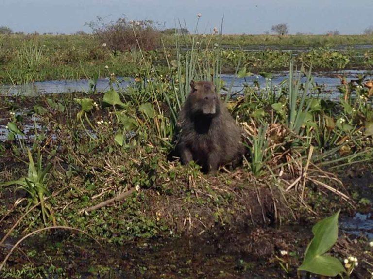 Begegnung mit Capybaras in Kolumbien