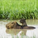 Capybara in Los Llanos