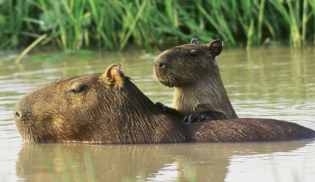 Capybara in Venezuela