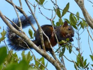 Braunhörnchen im Manuel Antonio Nationalpark