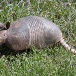 Gürteltiere findet man in Paraguay