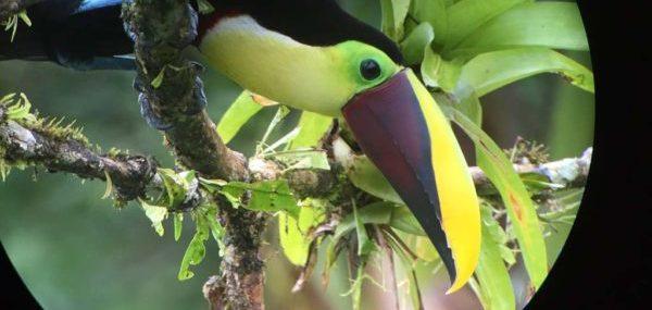 Vogelbeobachtung mit Spektiv: Swainson-Tukan