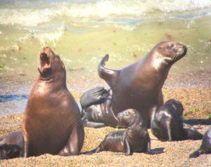 Seelöwen Familie auf der Halbinsel Valdes