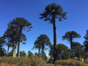 Araucarien Wälder in der argentinischen Seenregion