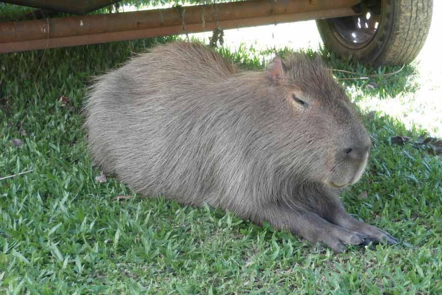 Wasserschwein bei den Ibera Sümpfen