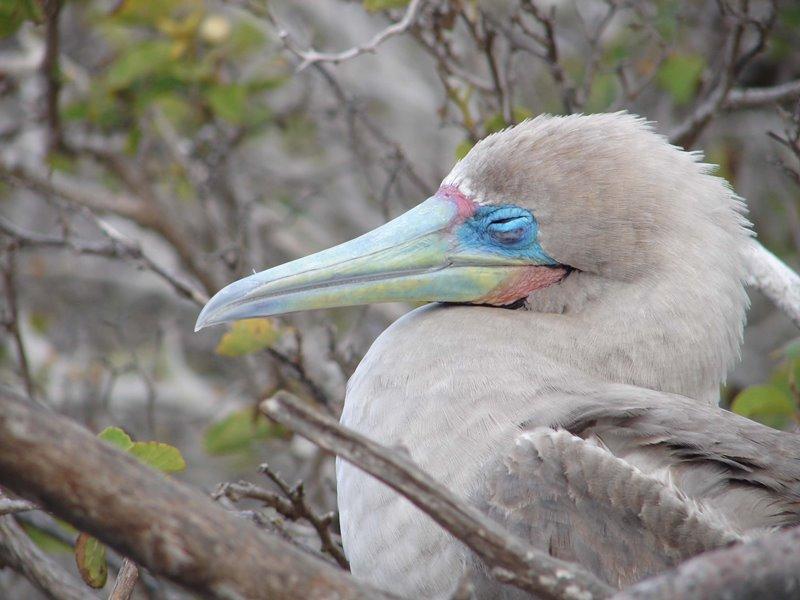 Rotfußtölpel auf den Galapagos Inseln