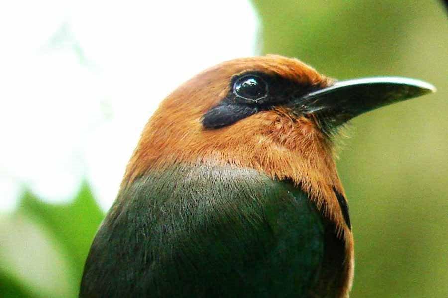 Plattschnabelmotmot bei der ornithologischen Panama Reise