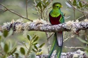 Quetzal in Costa Rica bei San Gerardo de Dota. Costa Rica individuell