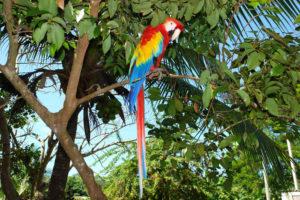 leuchtend bunter Scharlachara bei Nicaragua Vogelbeobachtungen