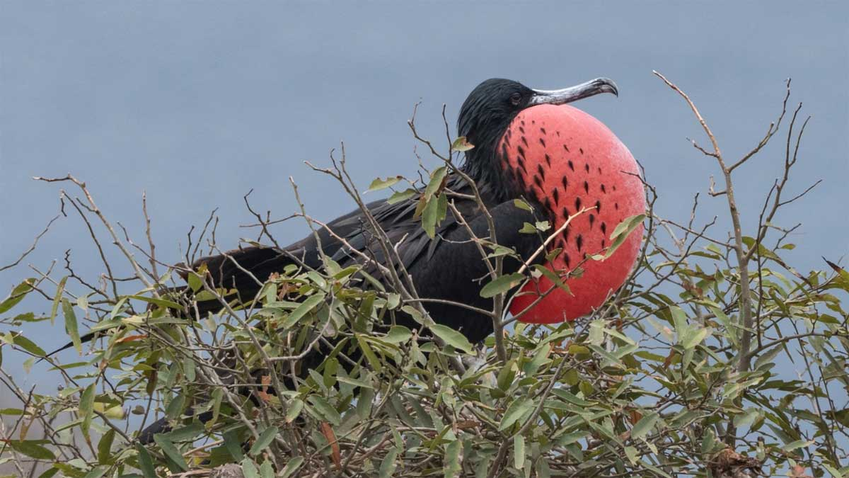Ein Fregattvogel sitzt im Gebüsch und hat seine typisch rote Kehle aufgeblasen