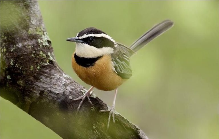 Schmuckbandvogel im Norden von Peru
