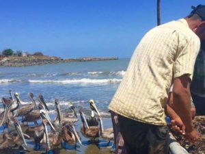 Brauner Pelikan bei Ankunft der Fischer an der Küste