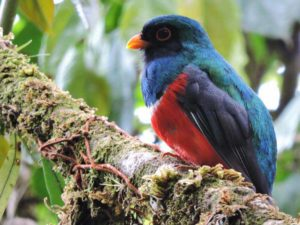 Ornithologische Reise in Kolukbien mit Maskentrogon bei der Montezuma Road