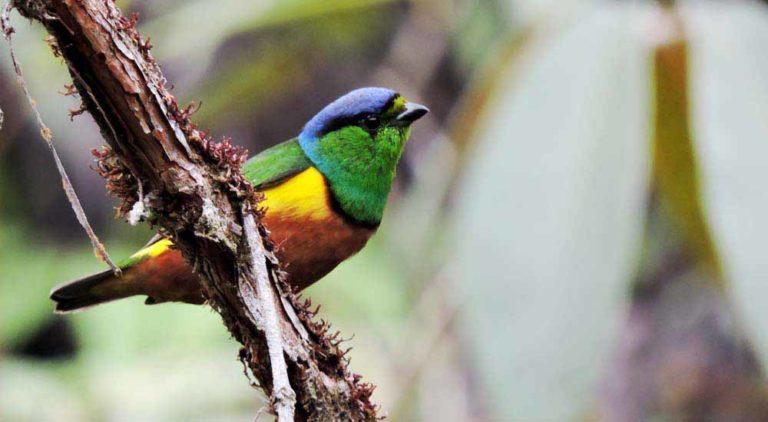 Schwarzbrauenorganist bei der Vogelkunde in Kolumbien