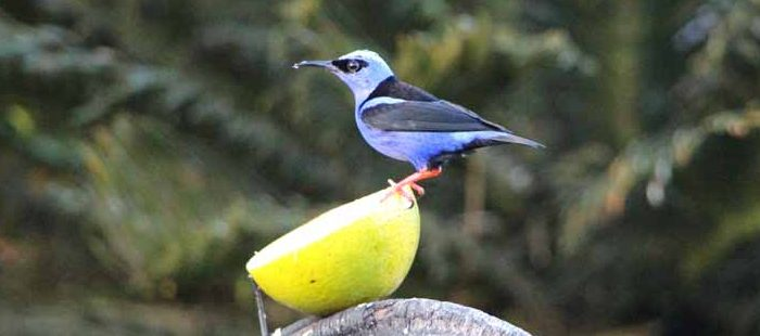 Vögel in Panama mit Türkisnaschvogel beim Essen einer Frucht