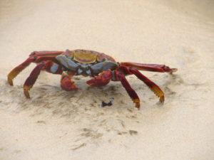 Krabbe auf Galapagos