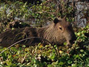 Capibara in den Sümpfen von Ibera