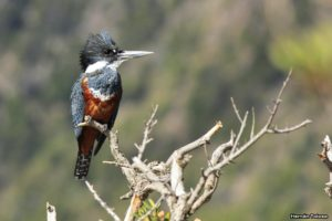 Kingfisher Argentinien