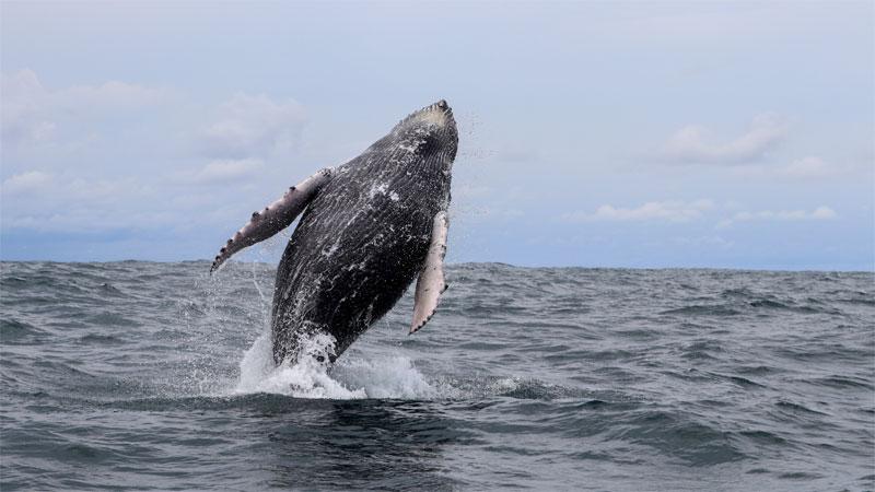 Wenn man Glück hat sieht man wie hier auf dem Bild während einer Walbeobachtung einen Buckelwal, der aus dem Wasser springt.