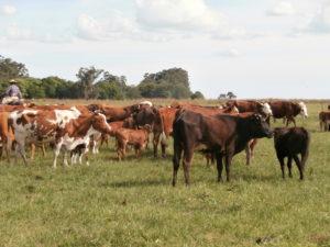 Rinderzucht in Argentinien
