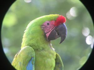 Ara Costa Rica