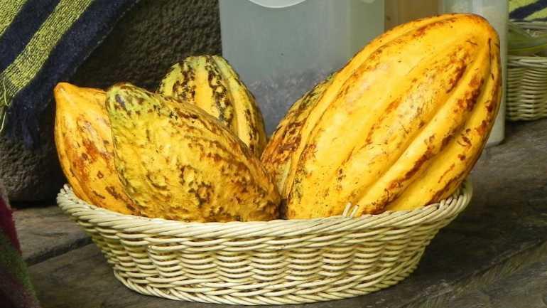 Kakaofrucht in Costa Rica