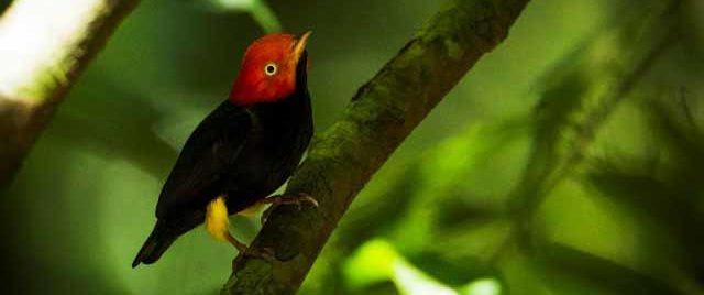 Der Gelbhosenpipra ist auch zu Hause im Amazonas in Kolumbien